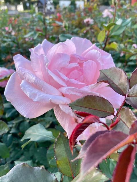 ヒーリー、レゾナンスでバラのような波動にしたい